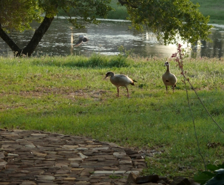 2011-4-10 Egyptian Geese 3