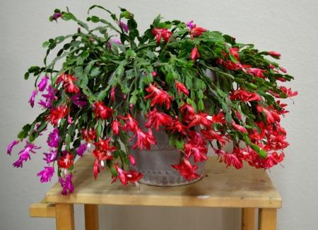 2012-12-24 Christmas Cactus 2012