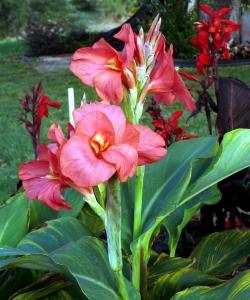 2009-5-5 Canna lilies