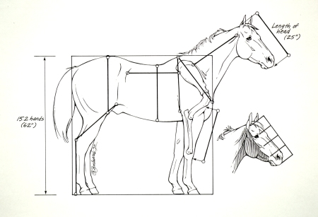 Horse Anatomy - Head Lengths