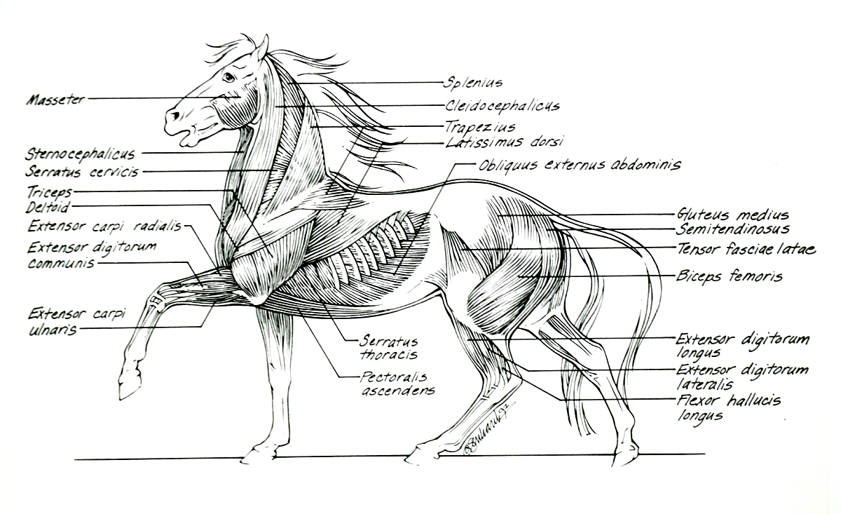 Diagram of horse anatomy