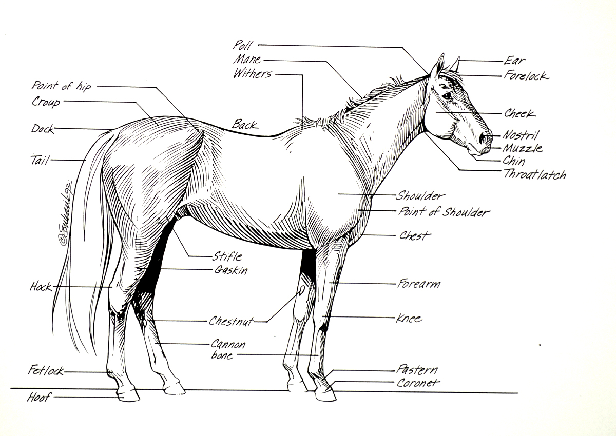 Worksheets Horse Anatomy Worksheet anatomy of a horse choice image human learning i mikki senkarik points muvagfo image