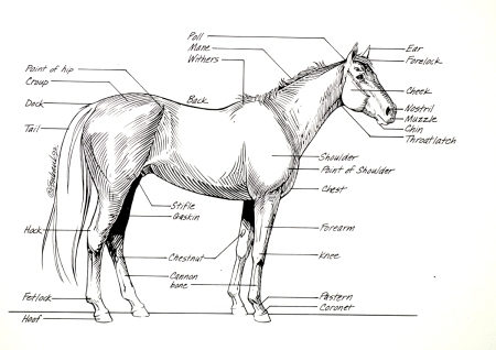 Horse Anatomy - Points