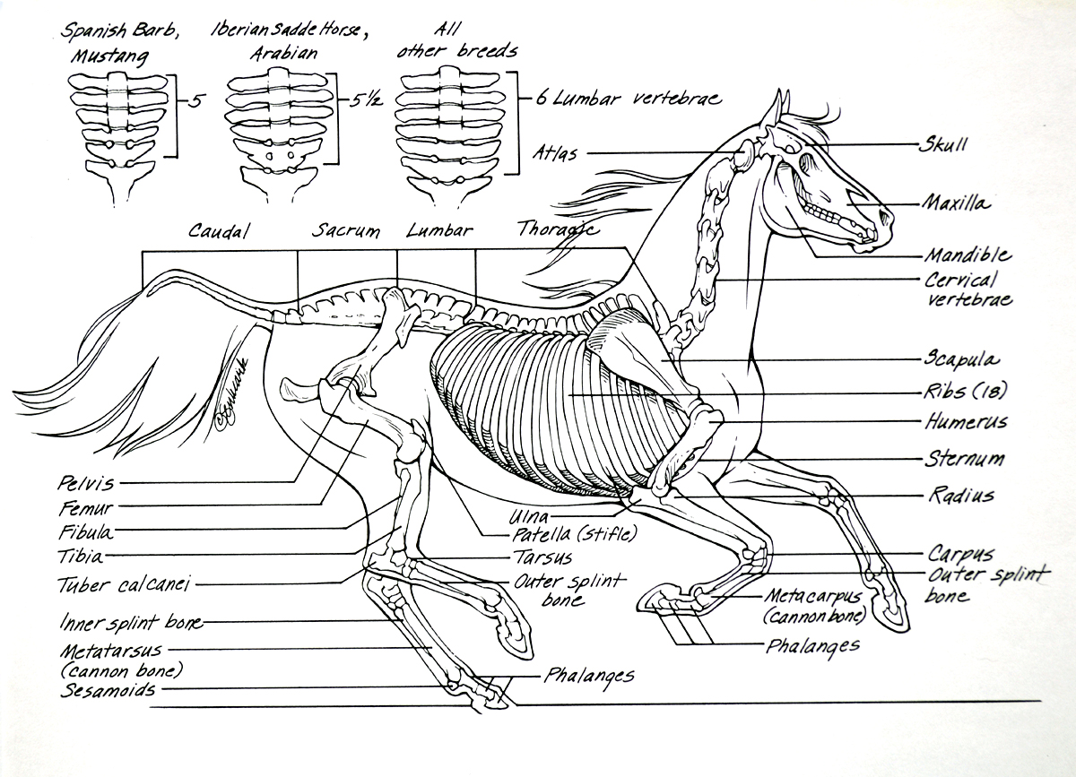 Horse Skeletal Diagram - learning about the bones of a horse | Horse ...
