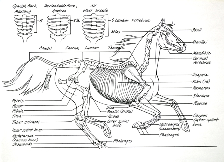 Horse Anatomy - Skeleton