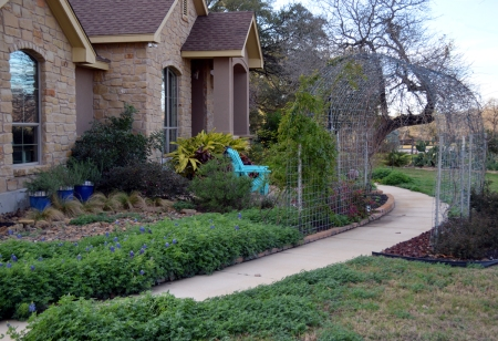 2013-2-16 Bluebonnets and grape arbor