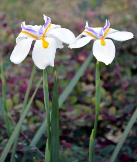 2013-3-12 Butterfly Iris