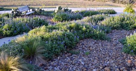 2013-3-12 Driveway garden bluebonnets 1
