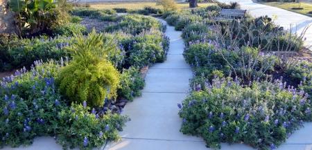 2013-3-13 Bluebonnets walkway 3