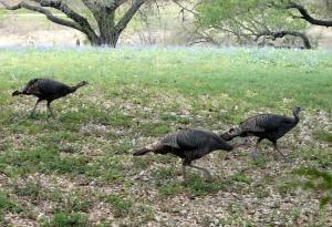 2013-3-29 Wild turkeys 1