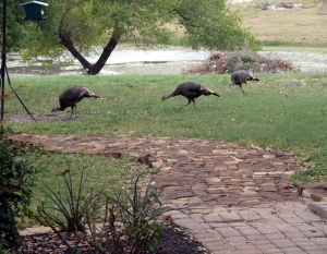 2013-3-29 Wild turkeys 3