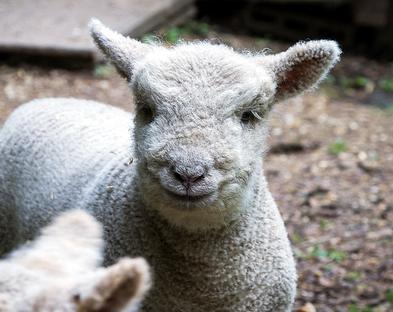 smiling sheep 1