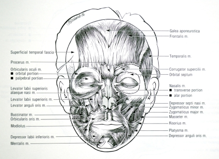 Facial muscles front view