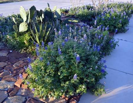 2013-3-12 Cactus in Bluebonnets 2