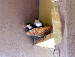 2013-6-6 Nesting Swallows 2