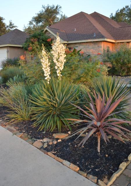 2013-8-20 Yucca on driveway 5