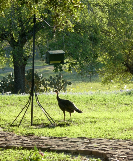2014-3-30 Wild Turkey 1