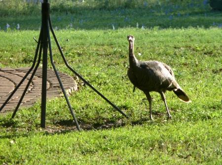 2014-3-30 Wild Turkey 3