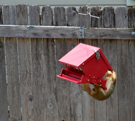2014-6-8 Squirrel #3