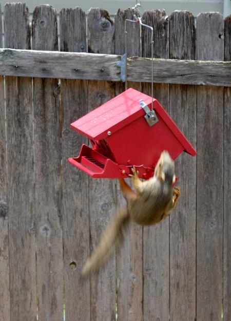 2014-6-8 Squirrel #6