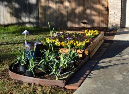 2014-12-25 Iris Garden 3 close up before planting