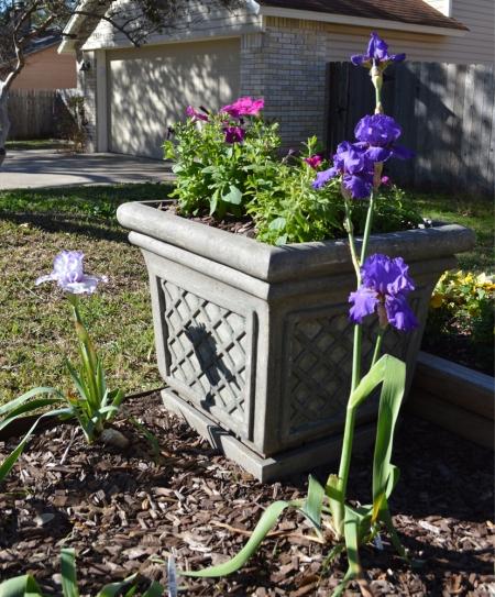 2015-2-1 Iris and Petunia Container