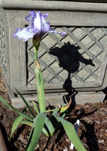 2015-2-1 Iris - Autumn Circis with hat shadow