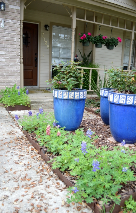 2015-3-19 Bluebonnets and knock out roses in pots
