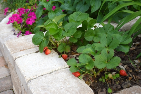 2015-4-20 First Strawberries 1
