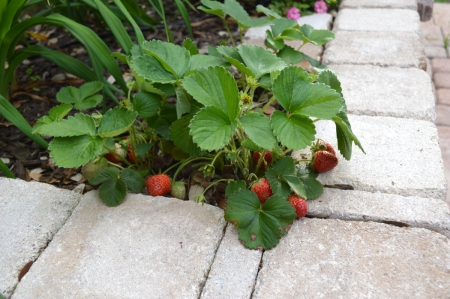 2015-4-20 First Strawberries 2