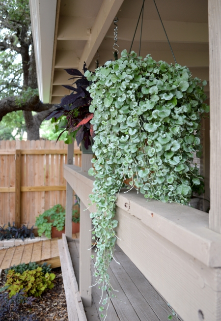 2015-5-11 Silver Pony Feet and Sweet potatoe vine 2