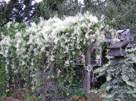 silver lace vine 5