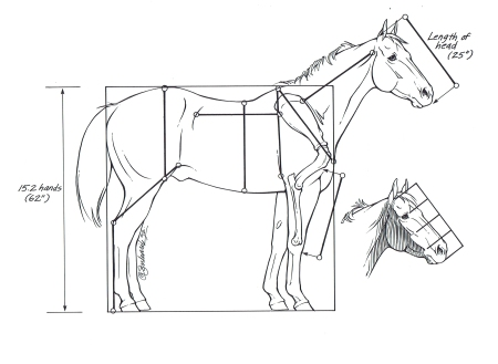 LULU Horse Anatomy Head Lengths