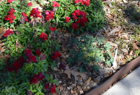 2016-1-28 Bluebonnet in Snapdragons