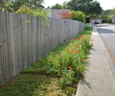 2016-4-10 Poppies along street 1