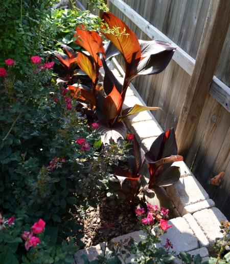 2016-5-28 canna lilies