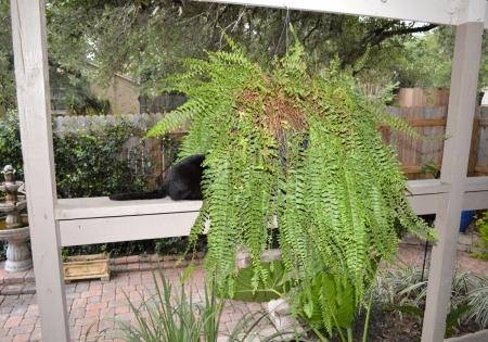 2016-8-21 Cat tail fern 1