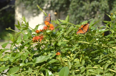 2016-11-14-butterflies-on-flame-vine