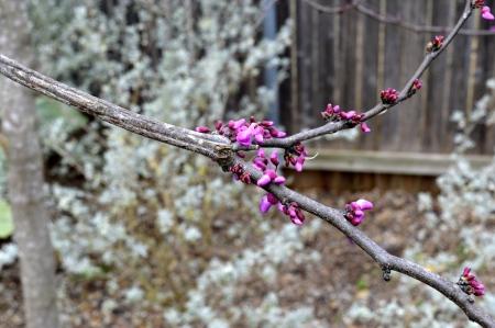 2017-2-7-rosie-first-buds-spring