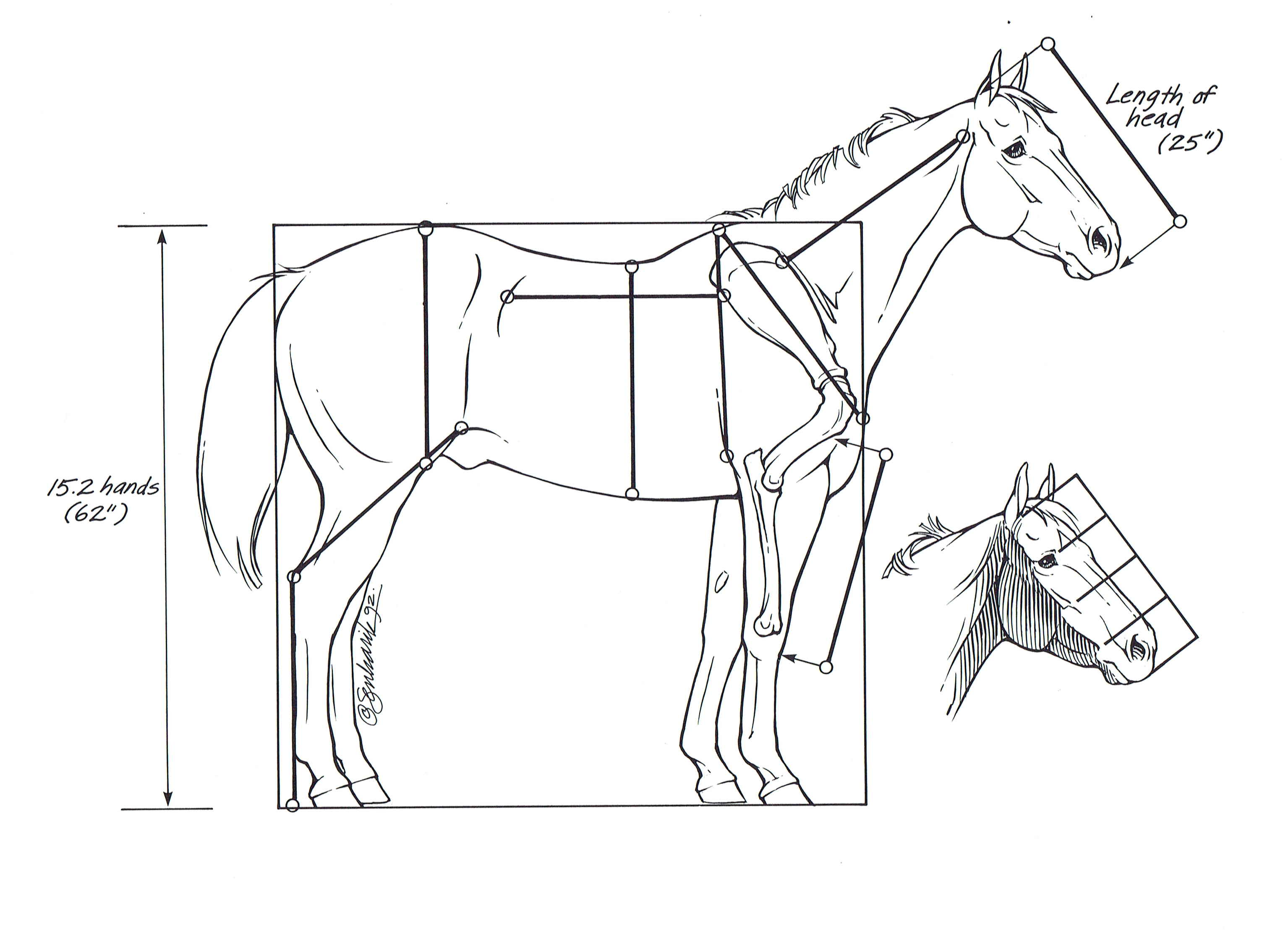 Worksheets Horse Anatomy Worksheet horses anatomy diagram gallery human learning horse worksheet spine